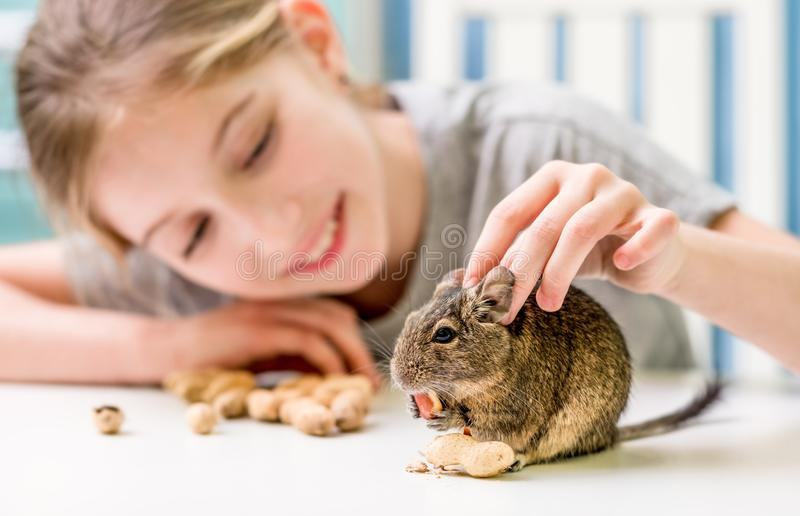 Young girl playing with degu squirrel stock photos