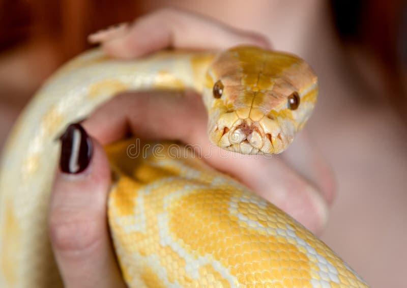 Young girl posing with an albino python stock photos