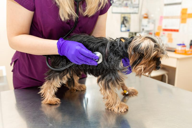 Young girl vet in the clinic examine with stethoscope a dog breed Yorkshire terrier royalty free stock image