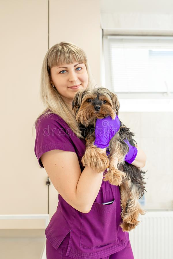 Young girl vet in the clinic hold in hands a happy dog breed Yorkshire terrier after exam royalty free stock photos