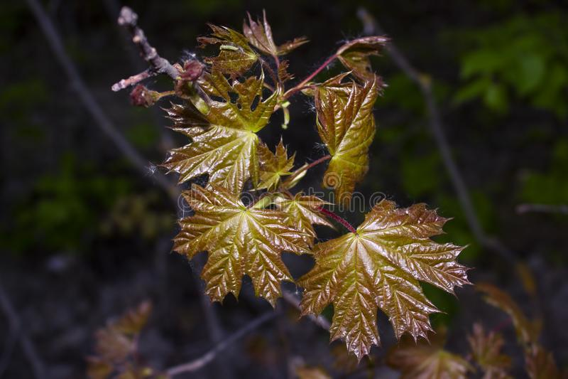 The young glossy leaves of the maple that grew in early spring royalty free stock photos