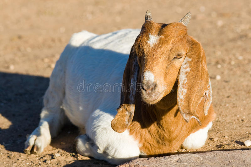 Download Young goat stock image. Image of field, looking, farming - 28058691