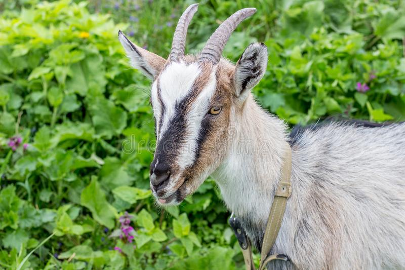 Young goat with horns close-up on greenery grass background in the pasture_. Young goat with horns close-up on greenery grass background in the pasture stock photo