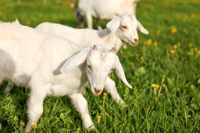Young goat kids playing and grazing on spring green meadow with royalty free stock image