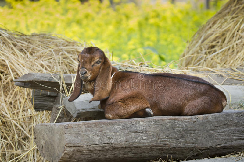 Young goat in Nepal stock photography