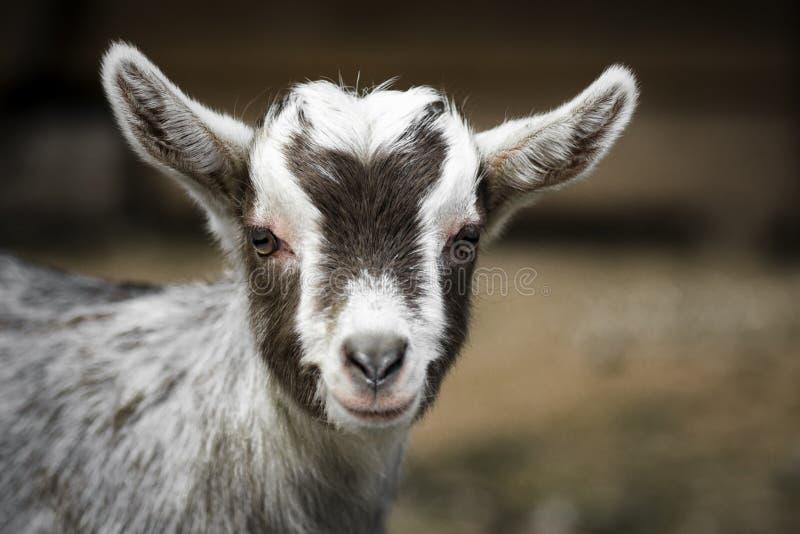 Young goat portrait stock photo