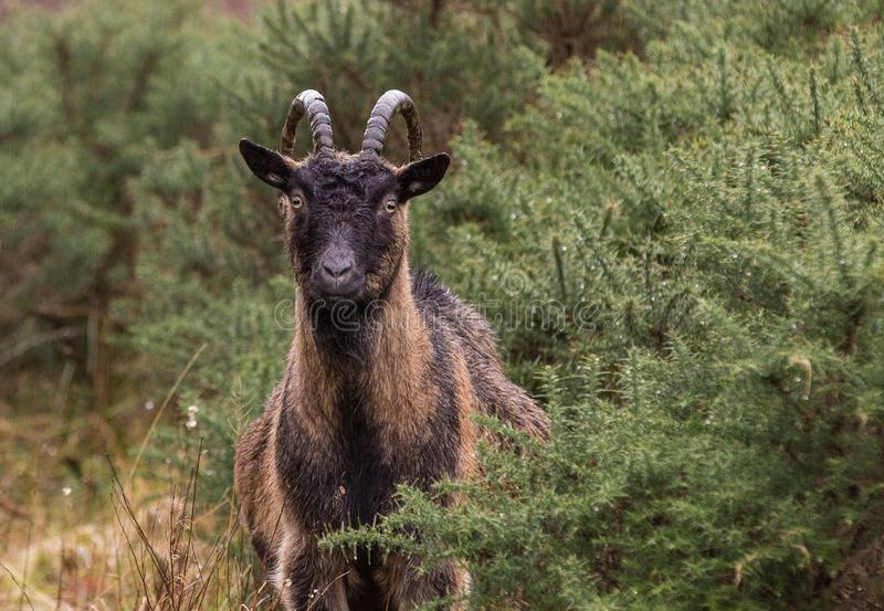 Young Goat in Scotland stock photos