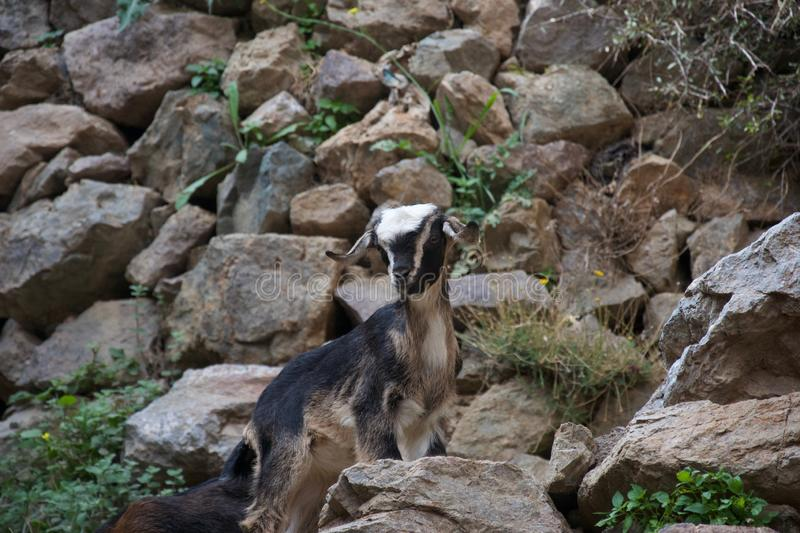 Young goat stops climbing and looks. A small black, brown and cream goat stands on a rocky path, pauses and looks towards the camera stock image