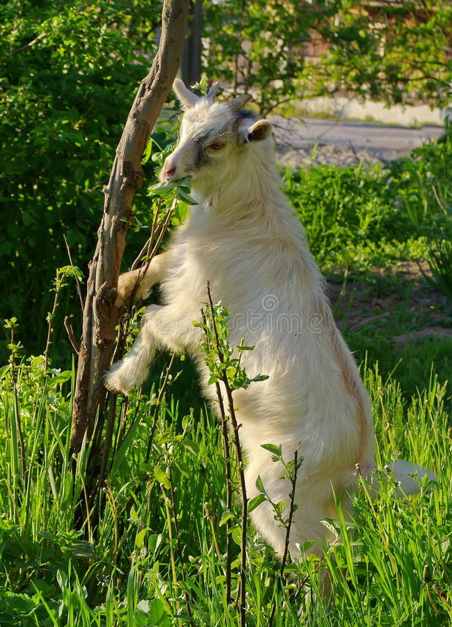 Spring. Young white goat royalty free stock photo