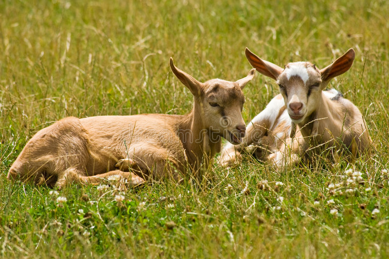 Download Young goats stock image. Image of cute, scene, feedlot - 8264809