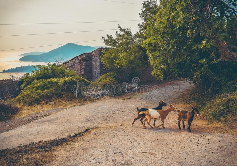Young goats crossing the walkway in Montenegro. royalty free stock photography