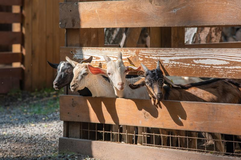 Young goats with horns looking from a stall. stock images