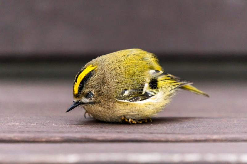 The young golden-crowned kinglet fell asleep on a bench stock photography