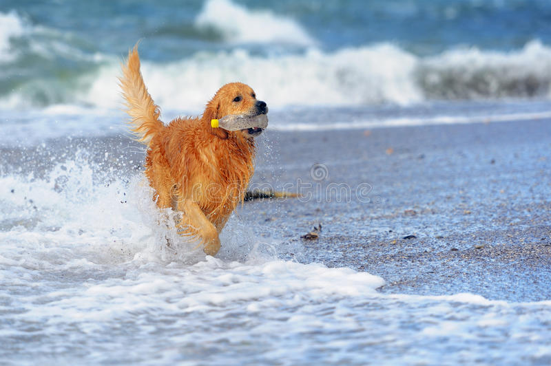 Young golden retriever on the beach royalty free stock photos