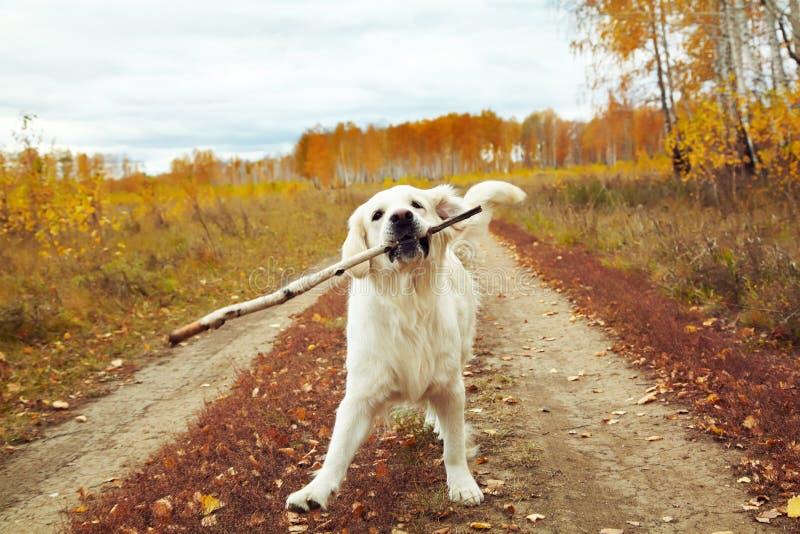 Young golden retriever for a walk in nature. Dog breed labrador outdoors. stock photos