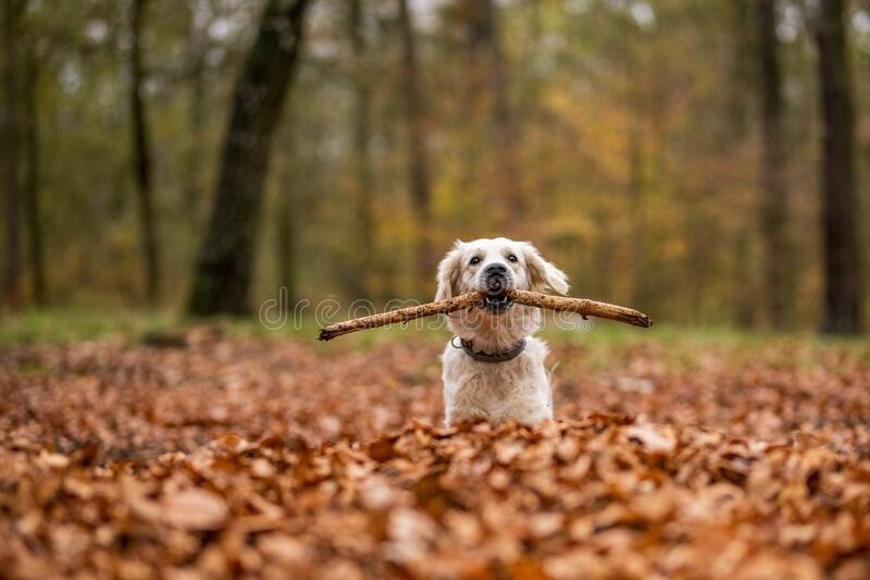 Young golden retriver playing in fallen leaves royalty free stock image