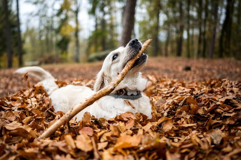 Young golden retriver playing in fallen leaves stock photo