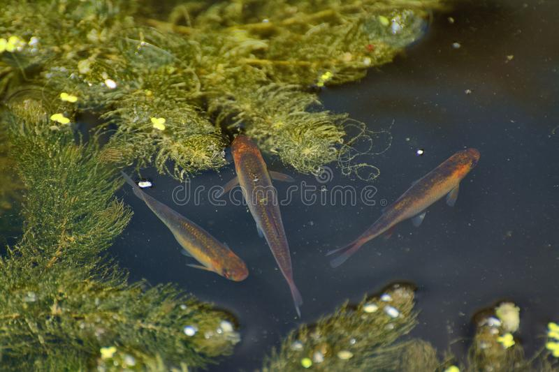 Young golden rudd in pond stock image image of rudd for Golden ornamental pond fish