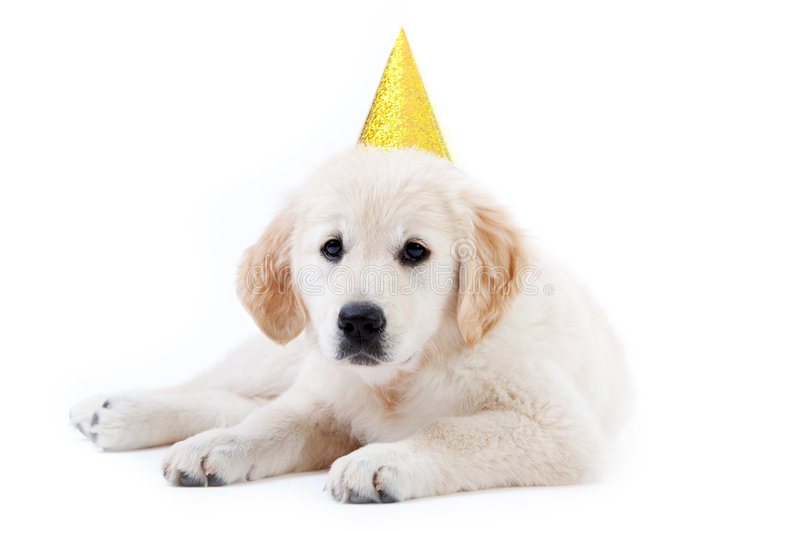 Young golder retriever puppy with birthday hat. Young golder retriever puppy with yellow birthday hat stock images