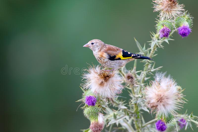 A young goldfinch sits on a prickly plant royalty free stock images