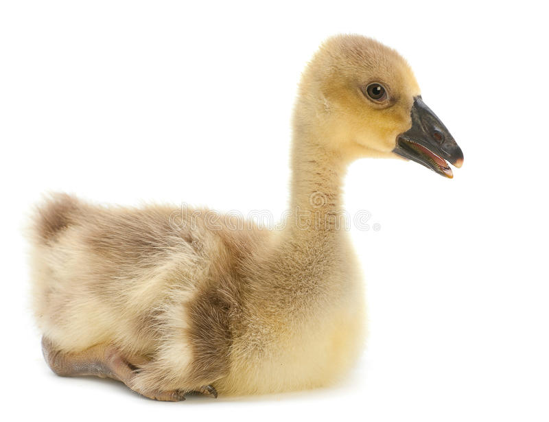 Young Goose Royalty Free Stock Photography