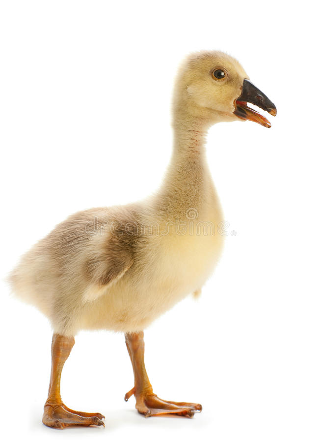 Young goose. Isolated on white stock photo