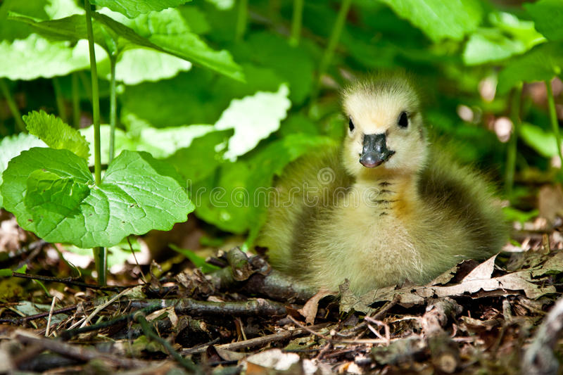 Young Goose. Sitting in weeds looking up stock photo