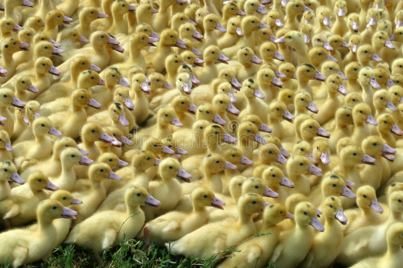 Young goose stock photography