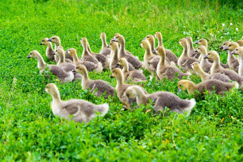 Young goose at age of 1 month walking on grass. Young goose at the age of 1 month walking on the grass stock images
