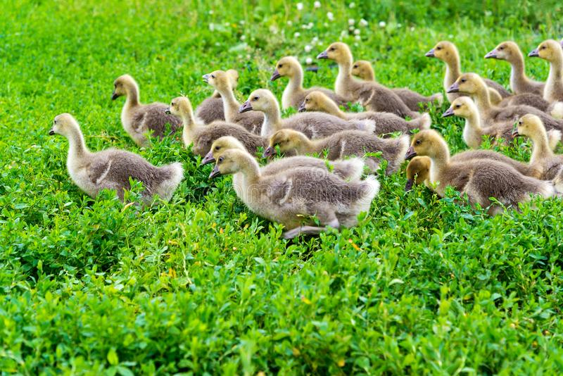 Young goose at age of 1 month walking on grass. Young goose at the age of 1 month walking on the grass stock image