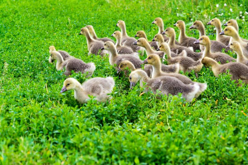 Young goose at age of 1 month walking on grass. Young goose at the age of 1 month walking on the grass royalty free stock image