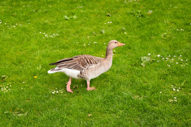 Young goose on green grass stock photo