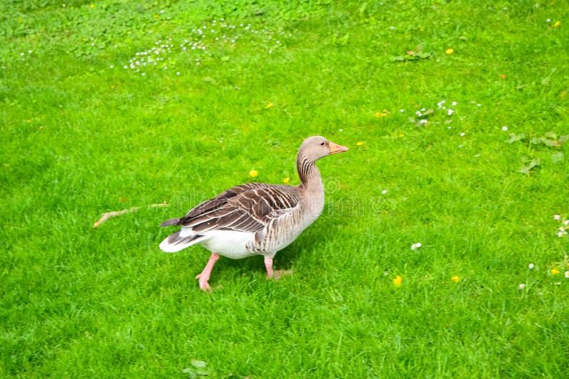 Young goose on green grass. In farm royalty free stock photography
