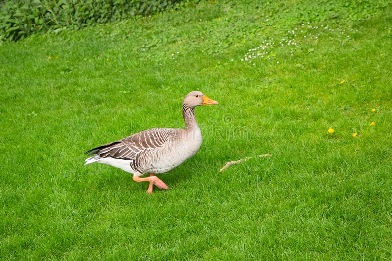 Young goose on green grass. In farm stock photography