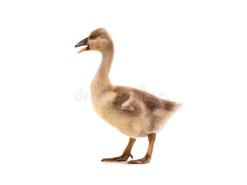 Young goose isolated on white. Background royalty free stock photo