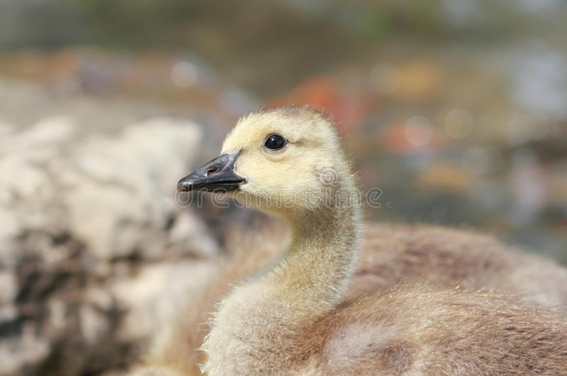 Young goose. In nature during summer stock images