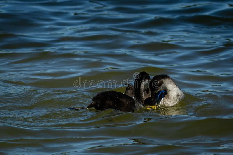 Young goose on the water. In the Rother Valley country park, U.K royalty free stock photos