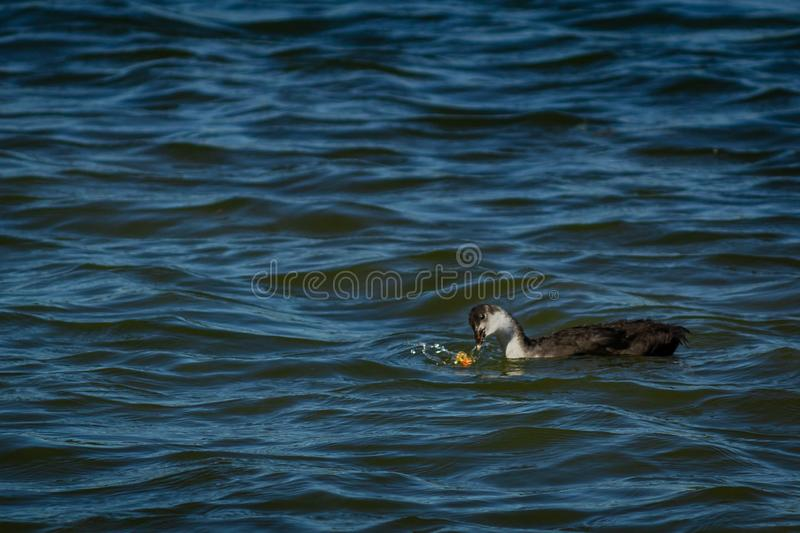 Young gooseon the water royalty free stock photos