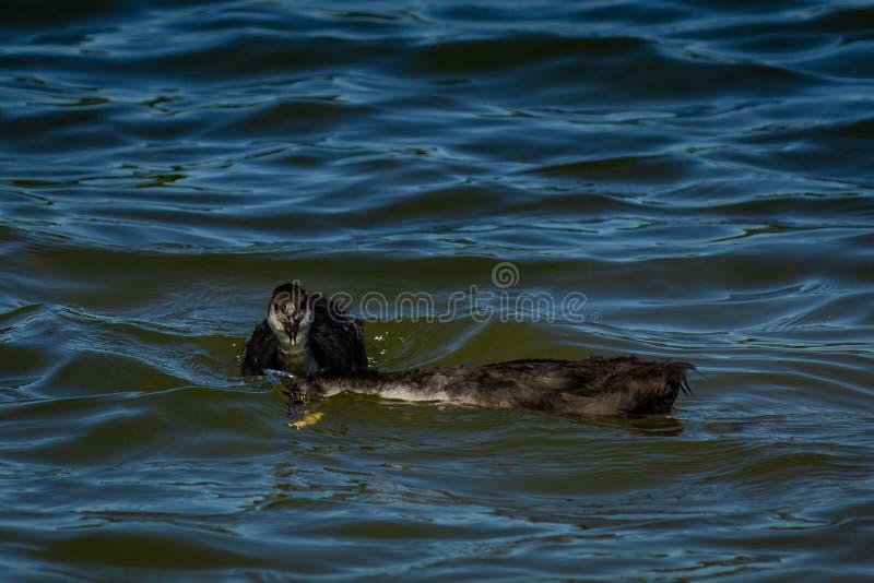 Young gooseon the water stock photos