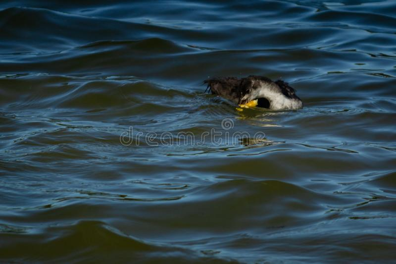 Young gooseon the water royalty free stock photo