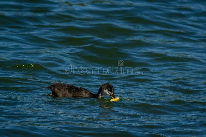 Young gooseon the water stock photography