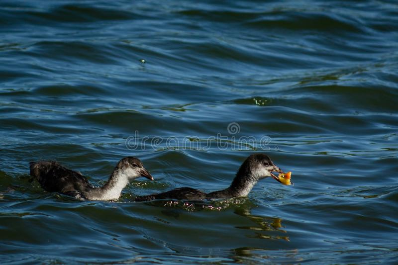 Young gooseon the water royalty free stock photography
