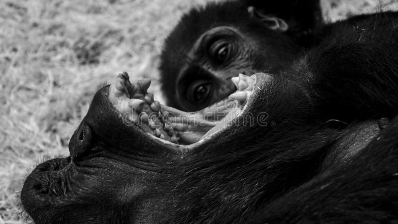 Young gorilla stock photography