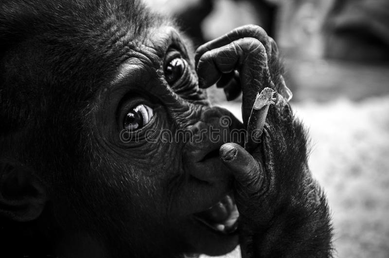 Young gorilla royalty free stock image
