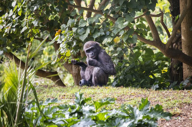 Young gorilla at the zo royalty free stock photo