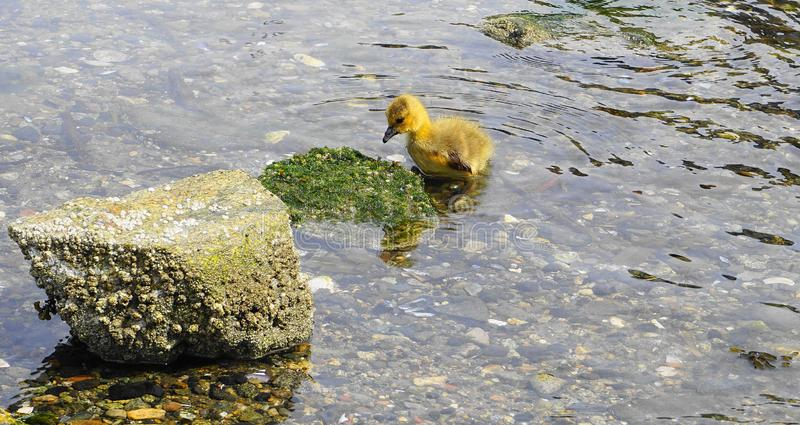 Young gosling with yellow plumage in water close up. Pacific ocean background royalty free stock photos