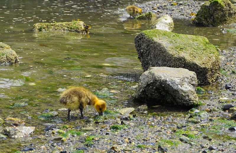 Young gosling with yellow plumage in water close up. Pacific ocean background stock photo