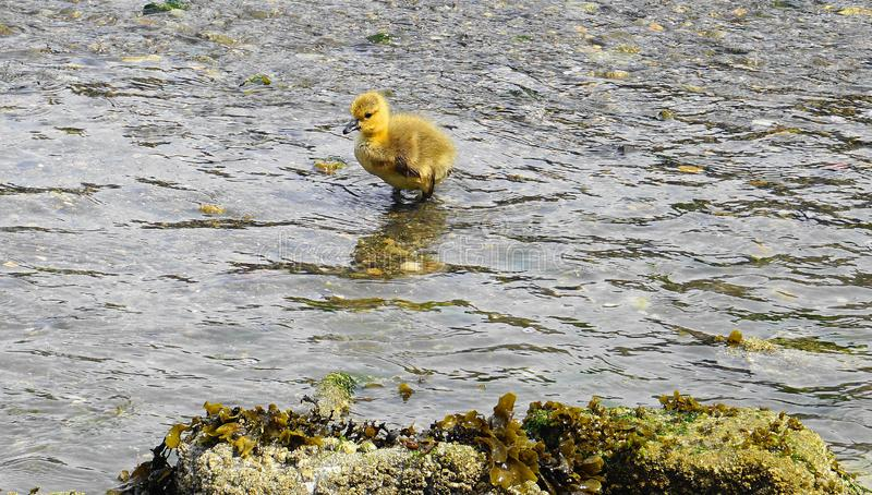 Young gosling with yellow plumage in water close up. Pacific ocean background stock image