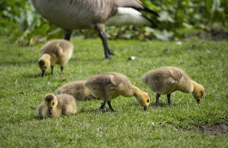 Young goslings foraging on grass stock images