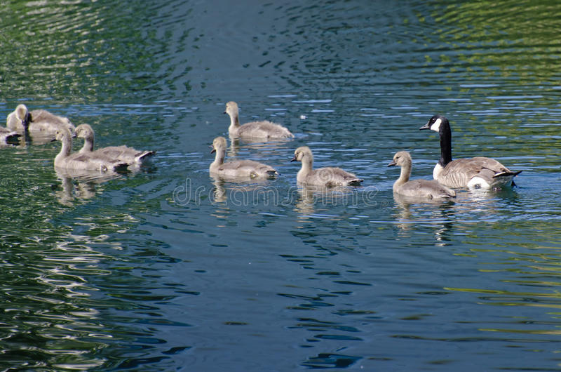 Young Goslings Swimming Across the Lake. With Mom royalty free stock images